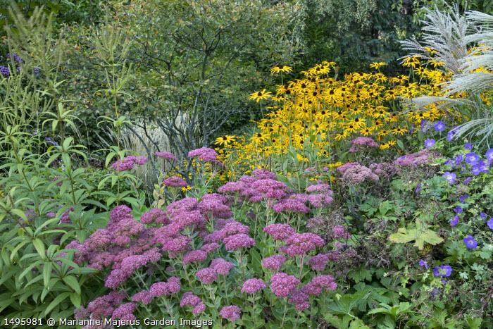 Hylotelephium (Herbstfreude Group) 'Herbstfreude' syn. sedum, Rudbeckia fulgida var. deamii, Geranium 'Rozanne', Amelanchier lamarckii, veronicastrum