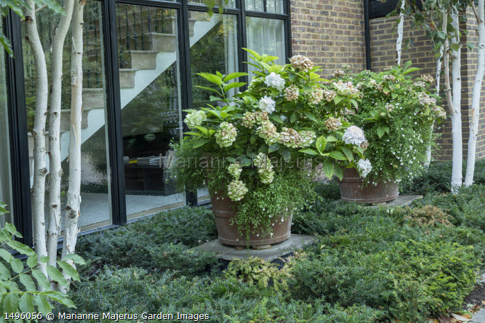 Hydrangea and Erigeron karvinskianus in large terracotta pots by house, low clipped Taxus baccata hedge