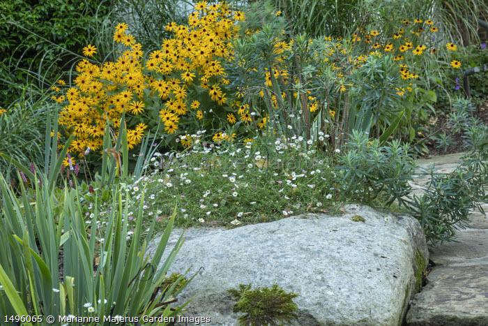 Rudbeckia fulgida var. deamii, Erigeron karvinskianus, Euphorbia characias 'Humpty Dumpty', large rock