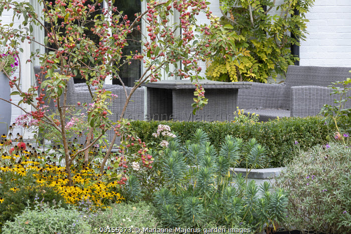 Malus 'Evereste' underplanted with Rudbeckia fulgida var. deamii, Nepeta racemosa 'Walker's Low' and Euphorbia characias 'Humpty Dumpty', Rattan table and chairs by house