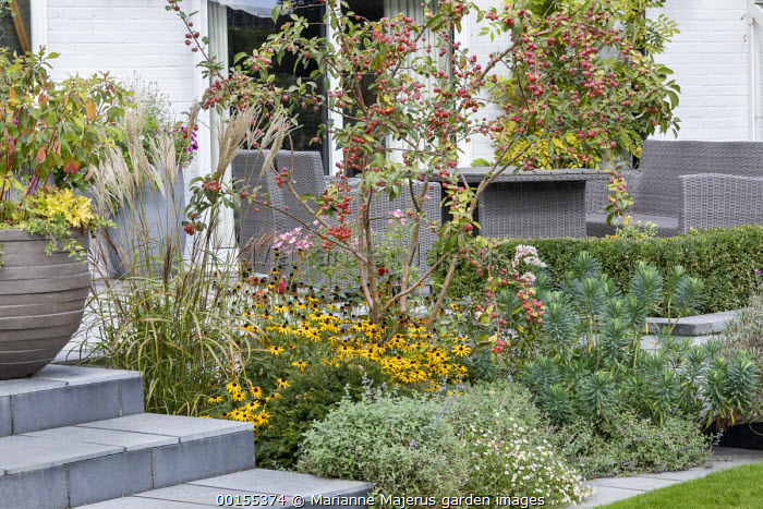 Malus 'Evereste' underplanted with Rudbeckia fulgida var. deamii, Nepeta racemosa 'Walker's Low' and Euphorbia characias 'Humpty Dumpty', Miscanthus sinensis 'Ferner Osten', Erigeron karvinskianus, rosemary, Rattan table and chairs by house, stone steps