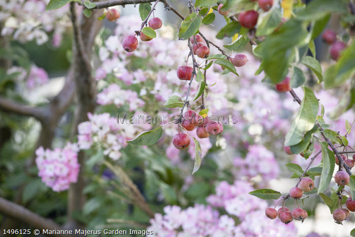 Malus 'Evereste' underplanted with Rosa 'Ballerina'