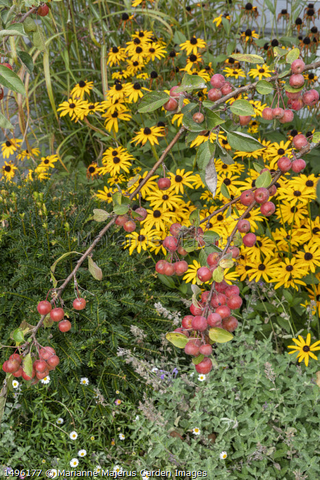 Malus 'Evereste' underplanted with Rudbeckia fulgida var. deamii, Nepeta racemosa 'Walker's Low' and Taxus baccata