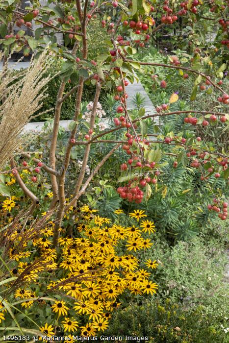Malus 'Evereste' underplanted with Rudbeckia fulgida var. deamii, Nepeta racemosa 'Walker's Low', Euphorbia characias 'Humpty Dumpty'