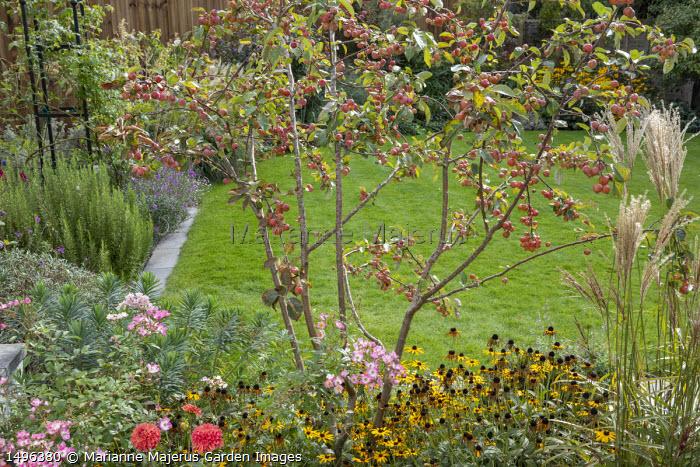 Malus 'Evereste' underplanted with Rudbeckia fulgida var. deamii, Euphorbia characias 'Humpty Dumpty', Rosa 'Ballerina', Miscanthus sinensis 'Ferner Osten'