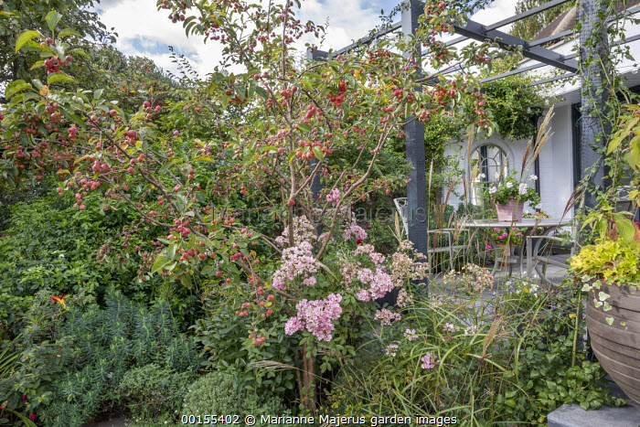 Malus 'Evereste' underplanted with Rosa 'Ballerina', Miscanthus sinensis 'Ferner Osten', Euphorbia characias 'Humpty Dumpty', table and chairs under pergola by house
