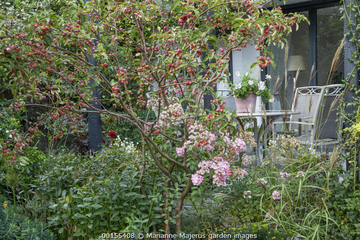 Malus 'Evereste' underplanted with Rosa 'Ballerina', table and chairs under pergola by house, Miscanthus sinensis 'Ferner Osten'