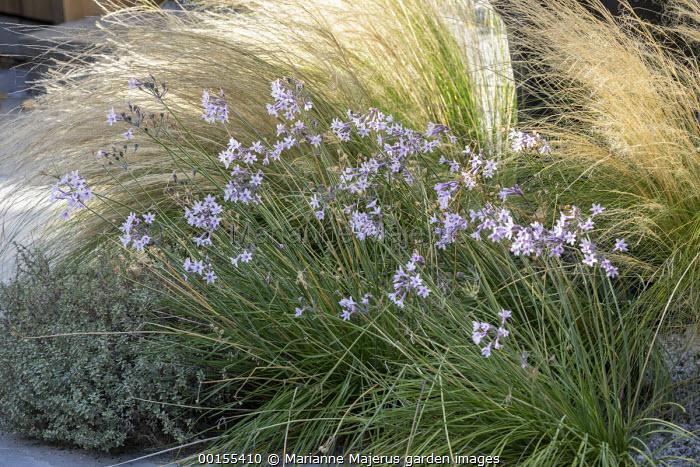 Tulbaghia violacea, Stipa tenuissima, Thymus vulgaris 'Silver Posie'