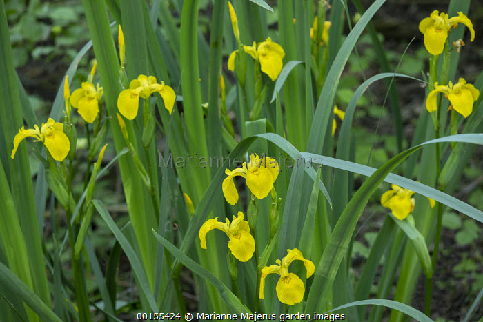 Iris pseudacorus by pond