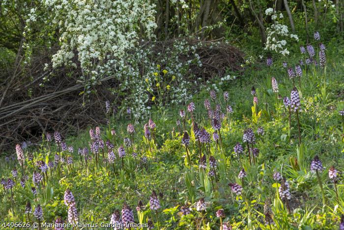 Orchis purpurea in meadow, Crataegus monogyna blossom