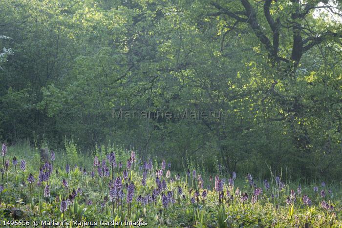 Orchis purpurea in meadow
