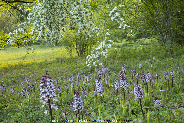Orchis purpurea in meadow, Crataegus monogyna blossom