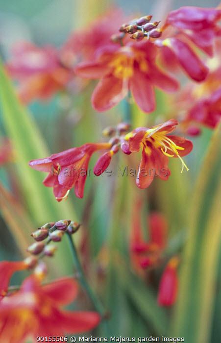 Crocosmia x crocosmiiflora 'Amberglow'