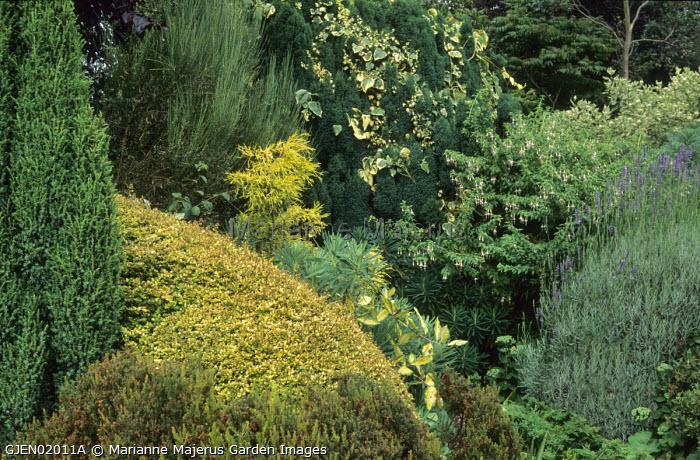 Conifer border, clipped Lonicera nitida 'Baggesen's Gold', elaeagnus, ivy, fuchsia, lavender