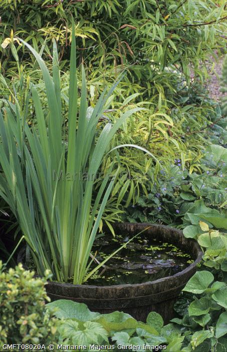 Iris in wooden half barrel pond