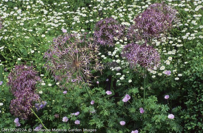Allium cristophii, Geranium sanguineum var. striatum, Ranunculus aconitifolium 'Flore Pleno'