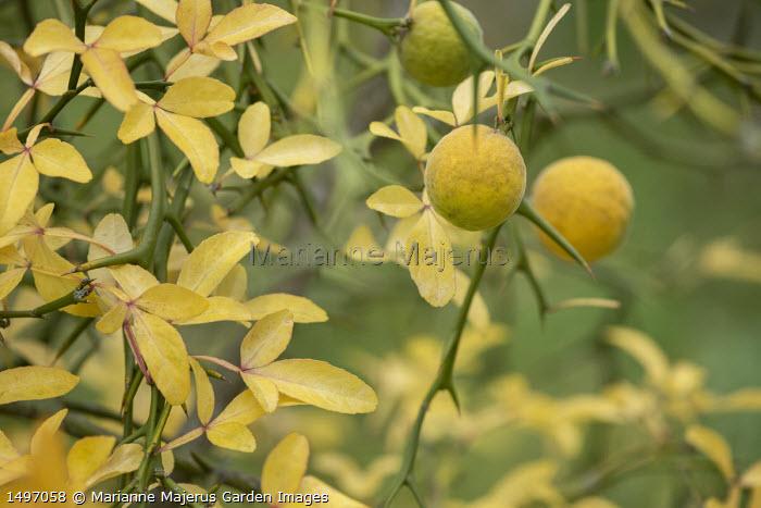 Citrus trifoliata syn. Poncirus trifoliata