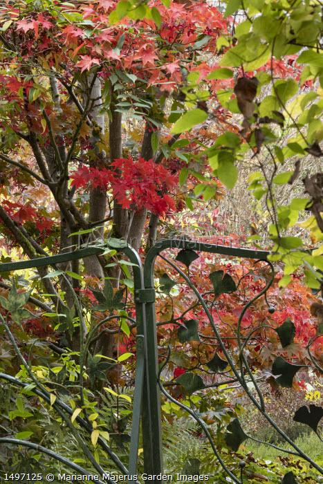 Gate with ginkgo leaf design, Acer palmatum