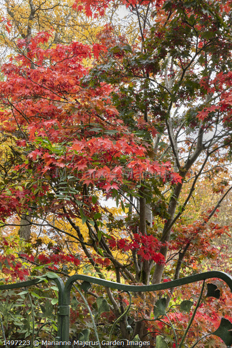 Acer palmatum by metal gate