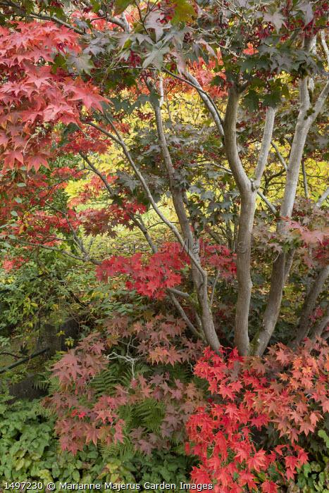 Acer palmatum underplanted with epimedium