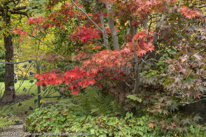 Acer palmatum underplanted with epimedium