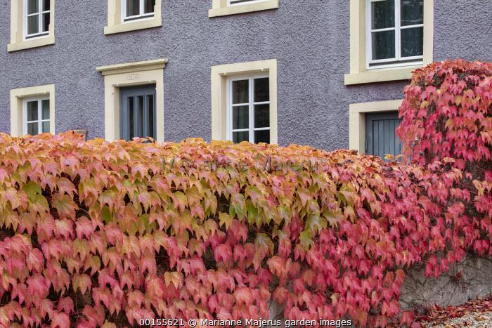 Parthenocissus tricuspidata climbing over wall