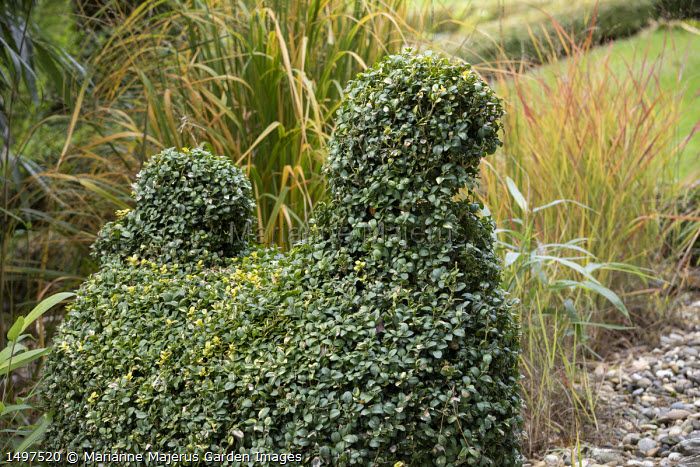 Buxus sempervirens topiary shape