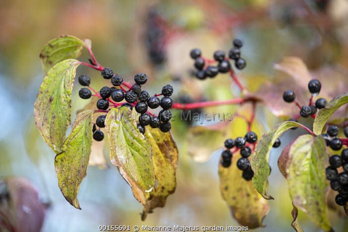 Cornus sanguinea berries