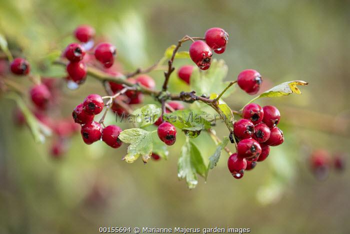Crataegus monogyna berries