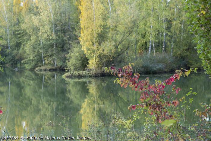 Cornus sanguinea by lake, birch trees
