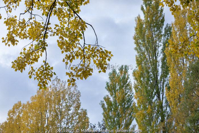 Poplars and birch in autumn