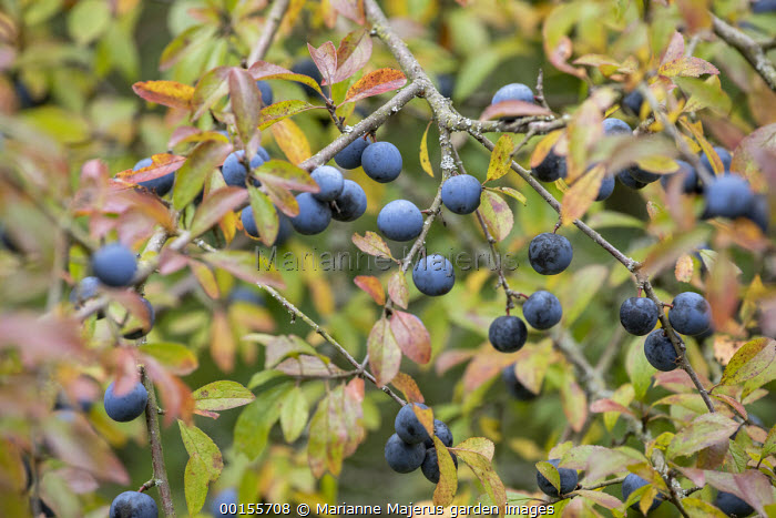 Prunus spinosa with fruit, sloes