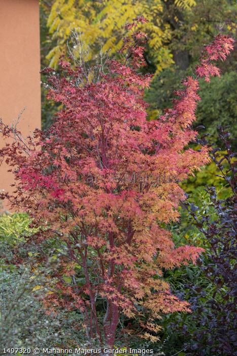Acer palmatum 'Sango-kaku' syn. 'Senkaki'