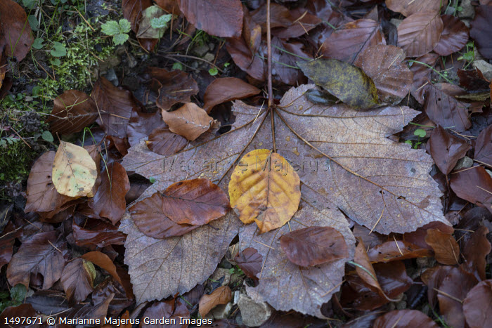Fallen maple and beech leaves on woodland floor