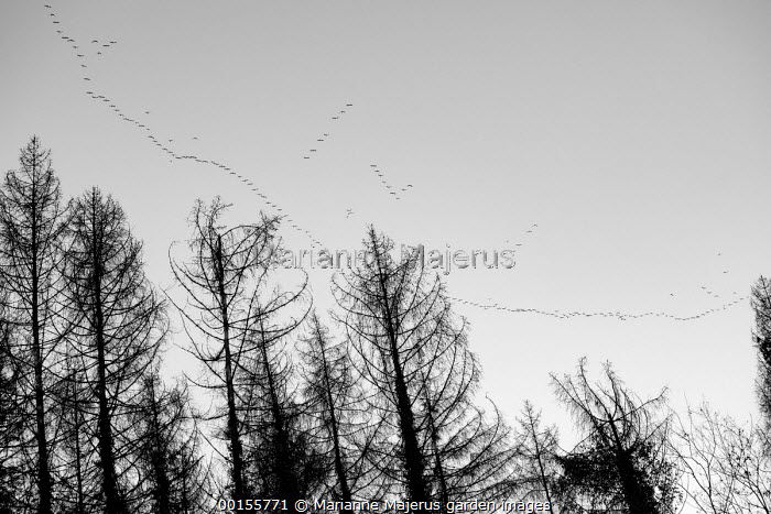 Skeins of wild geese flying over woodland