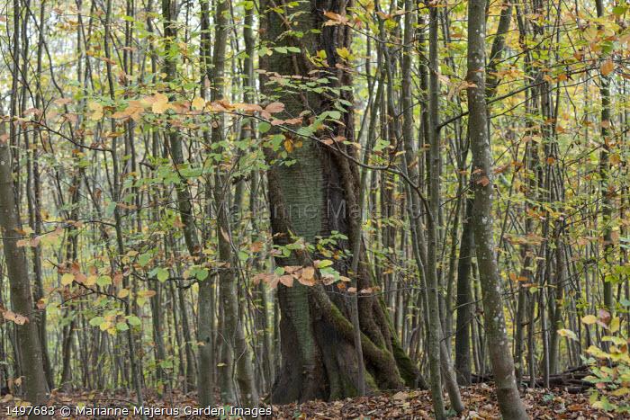 Beech woodland, Fagus sylvatica