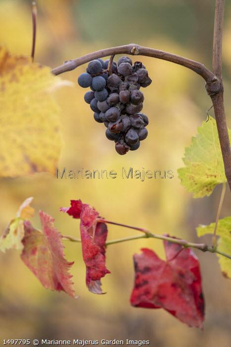 Vitis vinifera, grapes