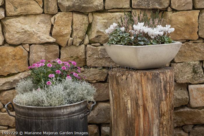 Cyclamen persicum, Calluna vulgaris Garden Girls Series, chrysanthemum and Calocephalus brownii syn. Leucophyta brownii in pots