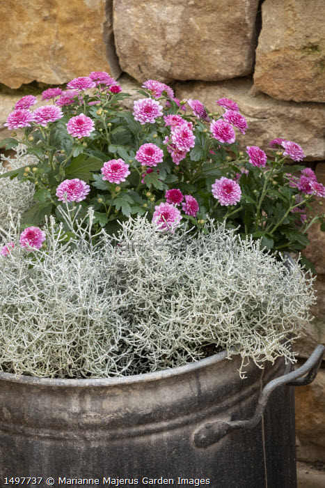 Chrysanthemum and Calocephalus brownii syn. Leucophyta brownii in recycled metal pot