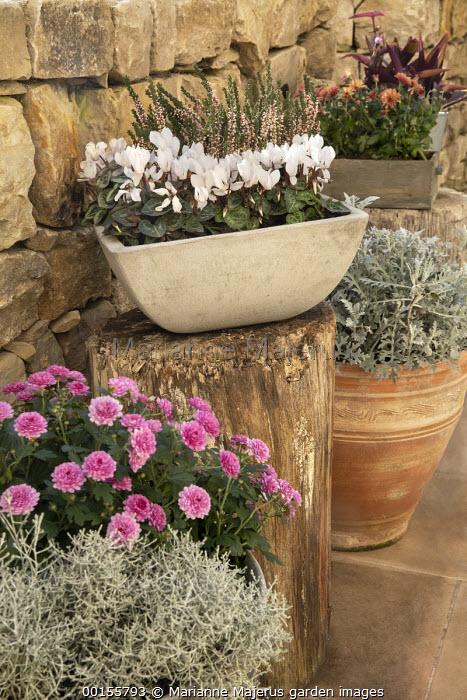 Cyclamen persicum, Calluna vulgaris Garden Girls Series, chrysanthemum, Calocephalus brownii syn. Leucophyta brownii and Senecio cineraria in pots, stone wall