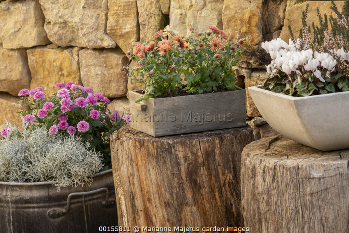 Cyclamen persicum, Calluna vulgaris Garden Girls Series, chrysanthemums, Calocephalus brownii syn. Leucophyta brownii in pots, stone wall