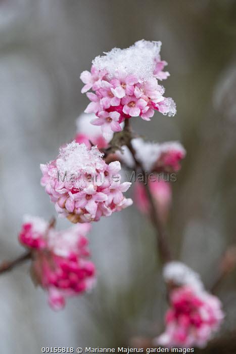 Viburnum x bodnantense 'Dawn' in snow