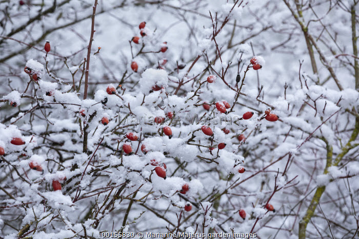 Hips of Rosa canina in snow