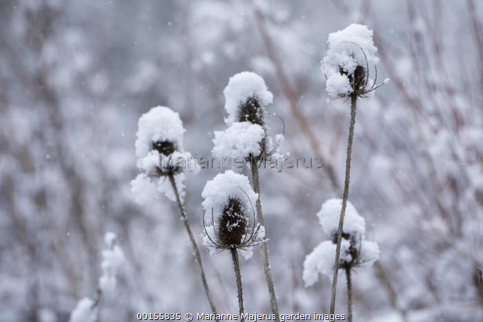 Dipsacus fullonum seedheads in snow