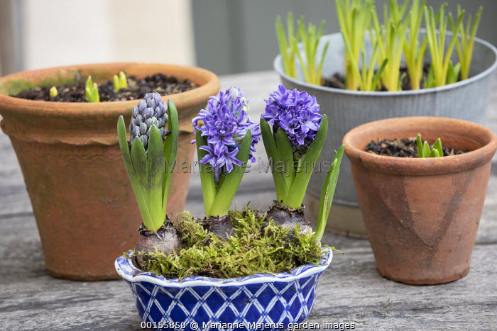 Hyacinths in blue ceramic pot on table