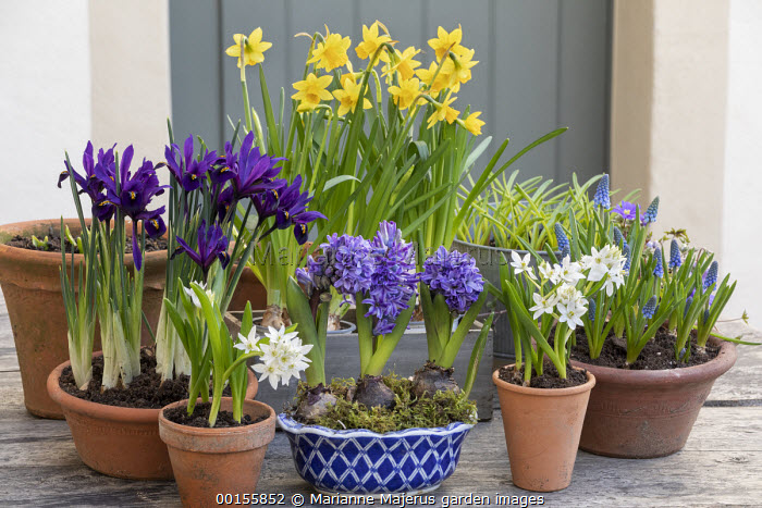 Display of early Spring bulbs in pots on wooden table, Narcissus 'Tête-à-tête', ornithogalum, Iris reticulata, Muscari 'Big Smile'