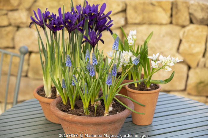 Display of early Spring bulbs in pots on wooden table, ornithogalum, Iris reticulata, Muscari 'Big Smile'
