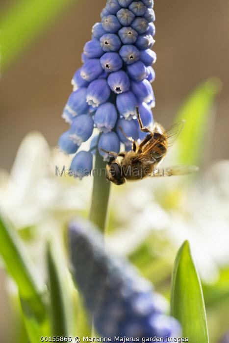 Bee on Muscari 'Big Smile'