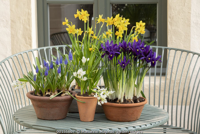 Display of early Spring bulbs in pots on metal table, Narcissus 'Tête-à-tête', ornithogalum, Iris reticulata, Muscari 'Big Smile'