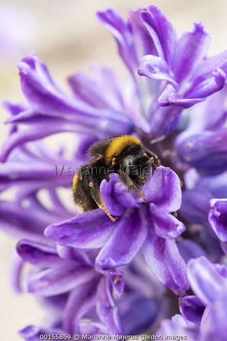 Bumblebee on Hyacinthus orientalis